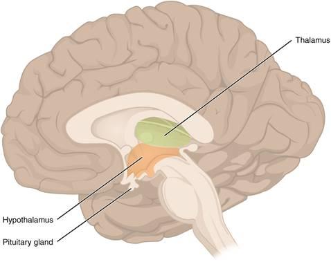 「垂體功能亢奮」的圖片搜尋結果